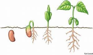 Germinate dictionary definition | germinate defined