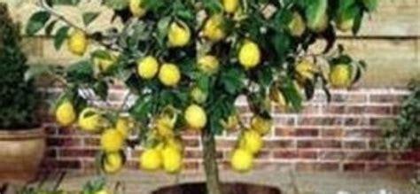 come coltivare il limone in vaso come coltivare una pianta di limone verde azzurro notizie