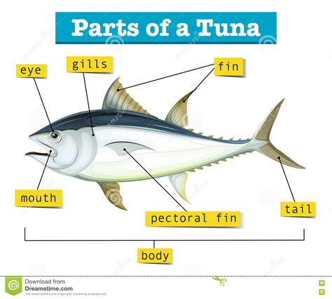 diagram showing different parts of tuna stock vector