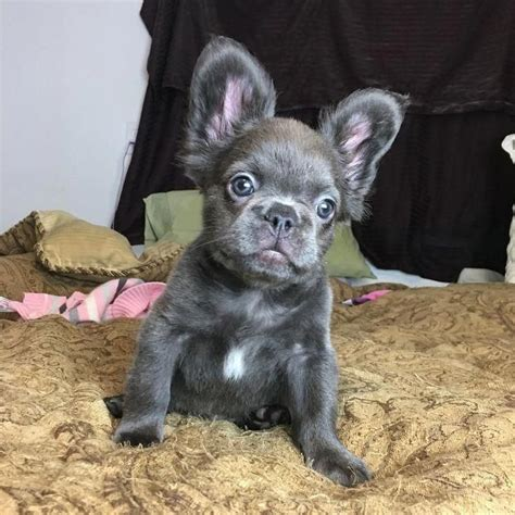 image result  long haired blue french bulldog
