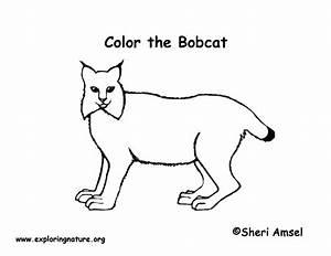 Bobcat Coloring Page Exploring Nature Educational Resource