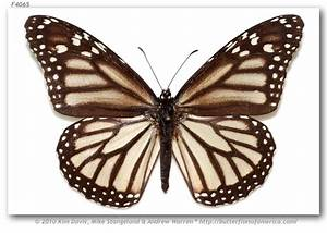 Black and white monarch butterfly | {ink} | Pinterest ...