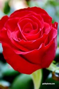 1 Rote Rose Bedeutung : lizenzfreie fotos und grusskarten gaidaphotos fotos und bilder ~ Whattoseeinmadrid.com Haus und Dekorationen