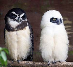 Spectacled Owl Mother & Baby | OWLS | Pinterest