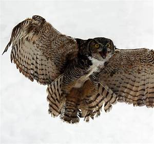 Great Horned Owl | These owls have a large wing span maing ...