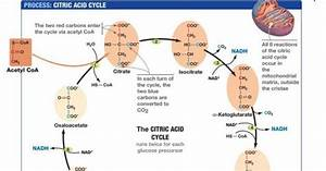 Difference Between Krebs Cycle And Electron Transport
