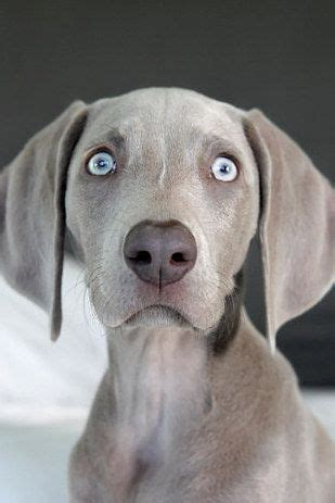 17 best ideas about blue weimaraner puppy on pinterest