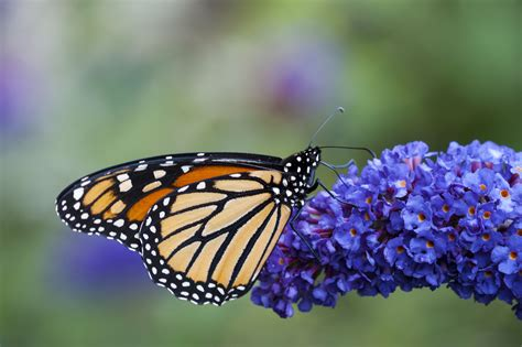flowers  attract monarch butterflies