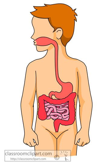 human digestive system clipart clipground