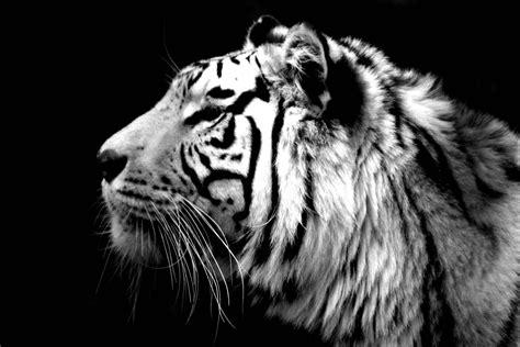 home interior tiger picture white tiger wallpapers 47 white tiger 2016 wallpaper 39 s