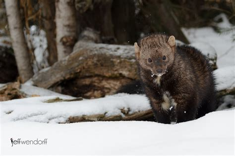 fisher cat images wildlife photography fisher cats jeff wendorff s