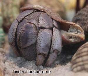 Haustiere Für Kinder : haustiere f r kinder landeinsiedlerkrebse ~ Orissabook.com Haus und Dekorationen