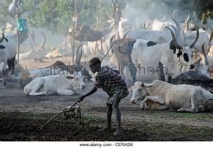 South Sudan Dinka Cattle