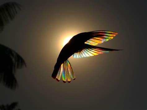 Amazing Shots Rainbow Hummingbird Captures Natural