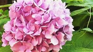 Wie Lange Blühen Hortensien : hortensien aus dem garten f r trockenstr u e vorbereiten frag mutti ~ Frokenaadalensverden.com Haus und Dekorationen