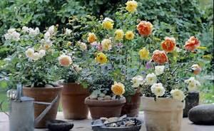 Rosen Im Topf überwintern : 129 besten k belpflanzen bilder auf pinterest balkon terrasse und tipps ~ Orissabook.com Haus und Dekorationen