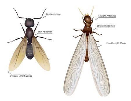 flying ants termite swarmers the difference between swarmers flying ants