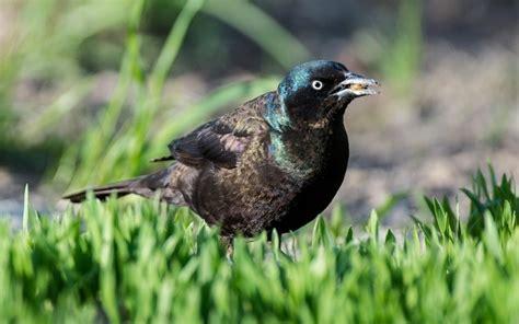 COMMON GRACKLE - Birds of Nebraska - Online