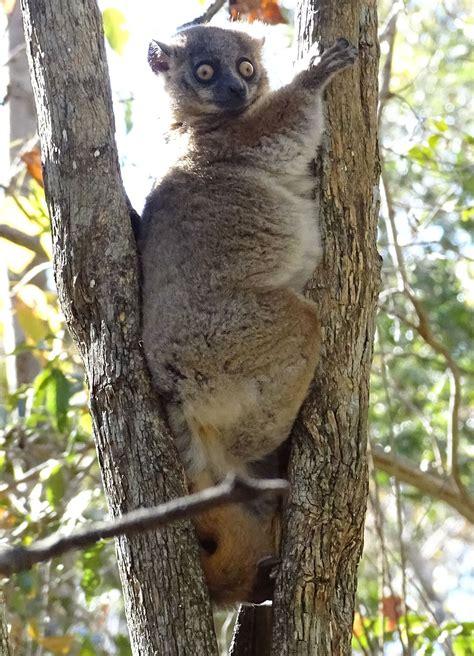Hubbards Sportive Lemur Wikipedia