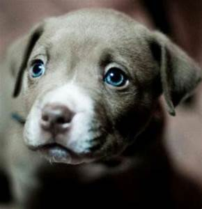 Blue Eyed ~ Pit Bull Pup | Dogs & Puppies | Pinterest