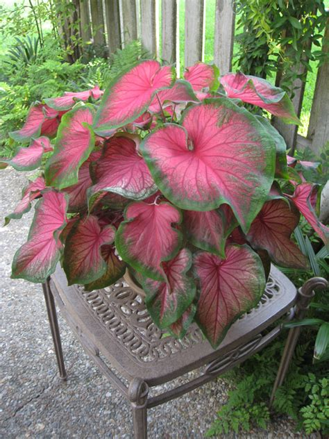 caladiums florida online plant guide caladium bicolor florida sweetheart florida sweetheart caladium