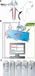 Neural Circuit Activity In Freely Behaving Zebrafish