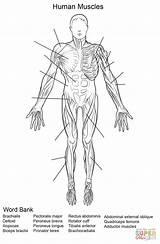 Anatomy Human Printable Worksheets Worksheet Muscles Coloring Muscular System Muscle Humano Cuerpo Arbeitsblatt Dibujo Supercoloring Crafts Colorear Diagram Menschliche Kleurplaat sketch template