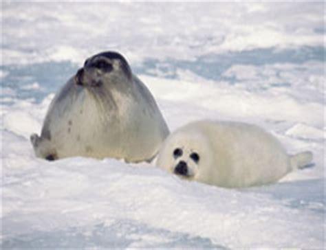 cute  harp seal   diet