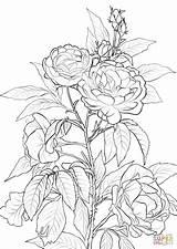 Coloring Rose Pages Roses Printable Flower Colouring Flowers Rosa Para Colorear Supercoloring Bush Dibujos Paginas Crafts Dibujo Imprimir Sheets Adult sketch template