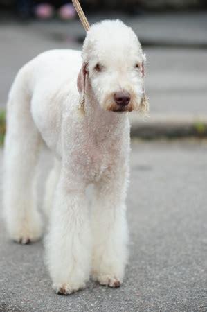 bedlington terrier small dog breed info