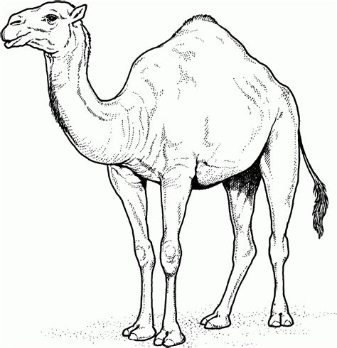 printable camel coloring pages  kids