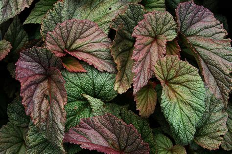 begonia leaf angel wing begonia flowers growing angel wing begonias indoors