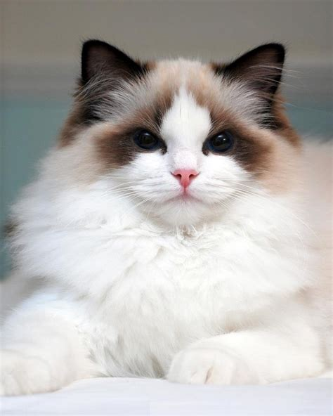 50+ Most Beautiful Birman Cat Collection - Golfian.com