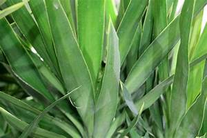 Yucca Palme Pflege : yucca palme palmlilie pflege anleitung ~ Eleganceandgraceweddings.com Haus und Dekorationen