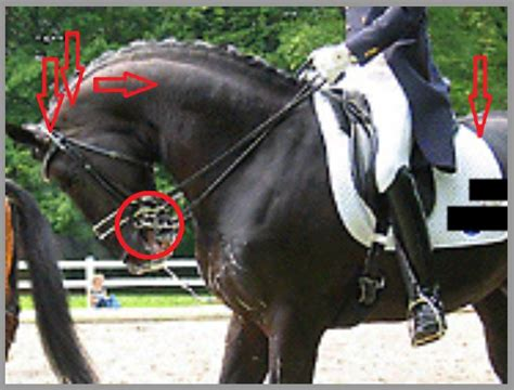 dressage bitless riding modern example some recreational riders dramatic unfortunately taken right