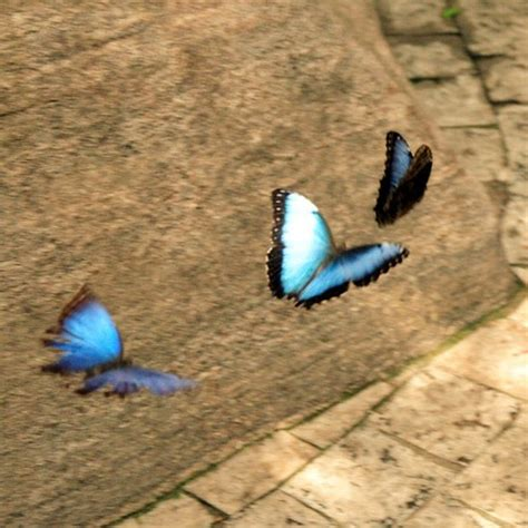 pictures  butterflies  flight