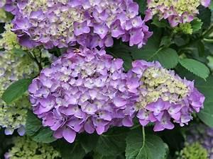 Magnolien Vermehren Durch Stecklinge : hortensien durch stecklinge vermehren pinterest ~ Lizthompson.info Haus und Dekorationen