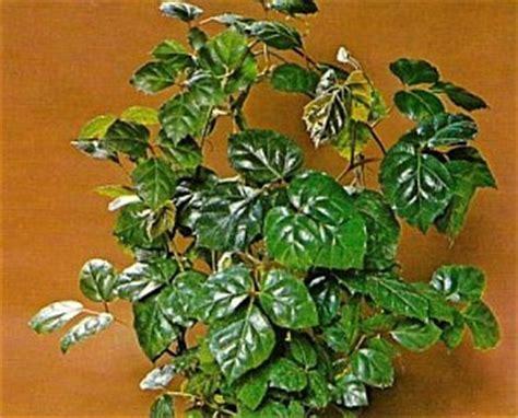 Zimmerpflanzen Datenbank Klimme by Cissus Rhombifolia K 246 Nigswein Zimmerblumen