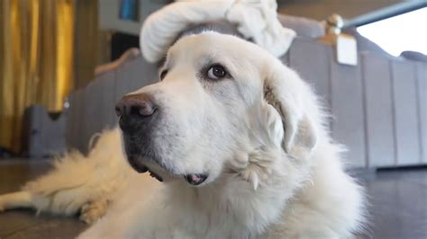 The Great Pyrenees Dog Breed Profile(Temperament) - 2020
