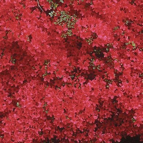azalea japonica en pot azal 233 e du japon hino crimson azalea japonica rhododendron hybride 224 fleurs rouges