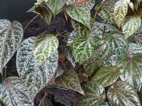 manfaat  khasiat daun sirih merah sebagai tanaman obat