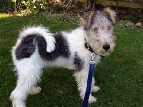 wire fox terrier dogs wire fox terrier dog breed info