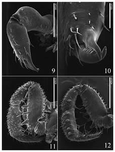 Guerrobunus Barralesi Sp  Nov  Male  9  Chelicera Mesal