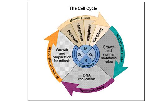 Sallas, Beth  Chapter 4  Cell Cycle