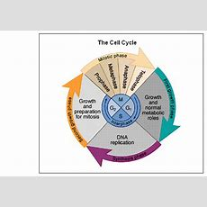Sallas, Beth  S2l2 A&b  Cell Cycle
