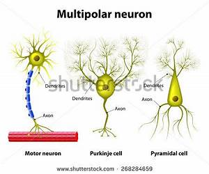 Different kinds of a multipolar neurons: pyramidal cell ...