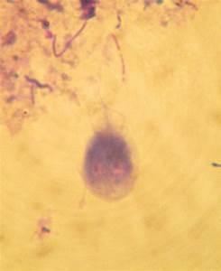 file giardia intestinalis dog
