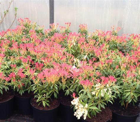 images of shrubs plants 1 pieris forest flame shrub mature plant 1 5 2ft 5 litre pot 4yrs old