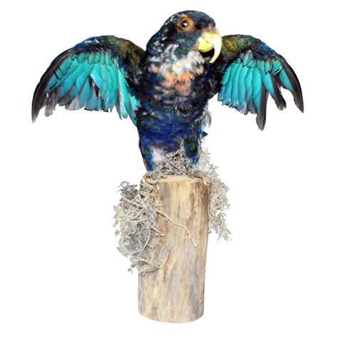 deer antler chandelier parrot bronze winged pionus taxidermy mounts for sale