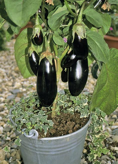 growing eggplant images  pinterest growing